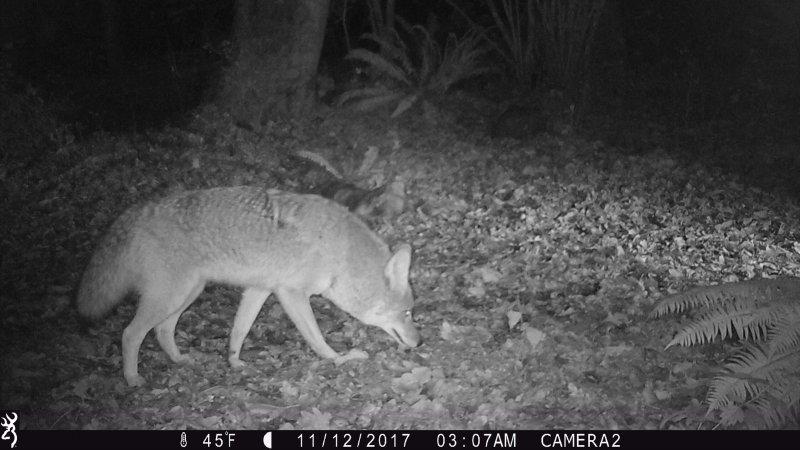 Coyote67.JPG