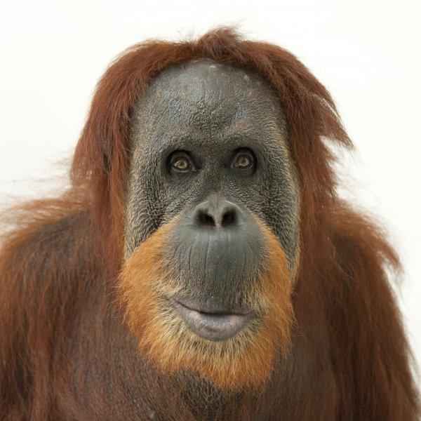 orangutans_thumb.jpg