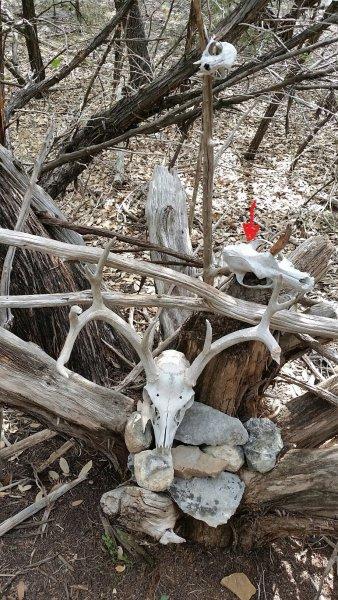 Gift Tree - Coyote Skull Moved.jpg