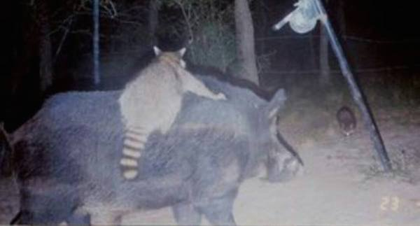 14-trail-cam-animals-funny-when-humans-arent-around.jpg