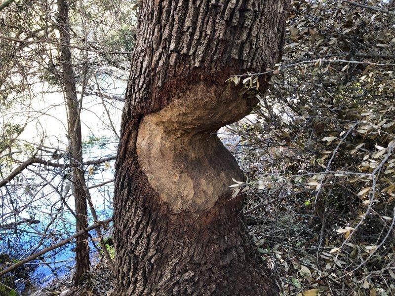 Beaver Chew 1.jpg