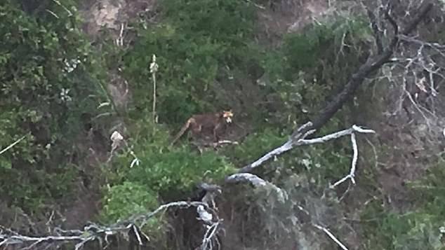 Tasmanian Tiger is Alive!