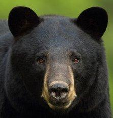 wildlife_blackbear.jpg